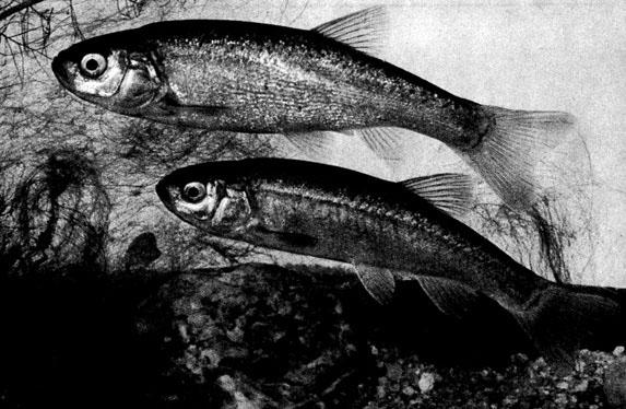 Рыба голец гольян