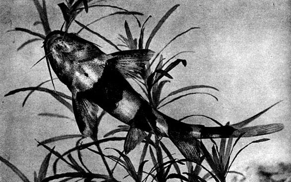 Воды Азии и Африки населяют сомы семействаSchilbeidae.